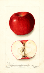 Apples, Chicago (1904)