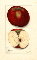 Apples, Chicago (1913)
