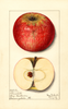 Apples, Churchill (1913)
