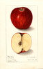 Apples, Cla-mis (1908)