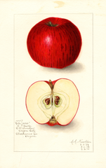 Apples, Clawis (1908)