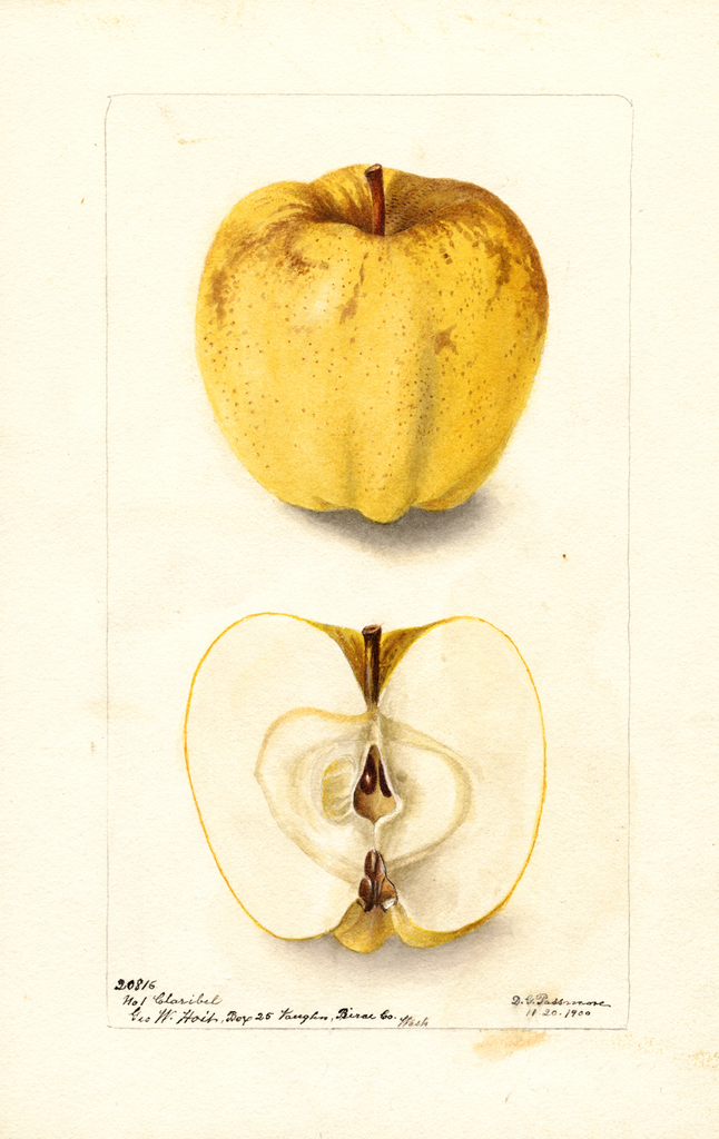 Apples, Claribel (1900)