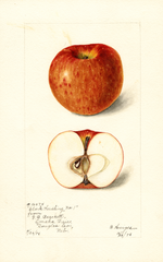 Apples, Clark Seedling (1898)
