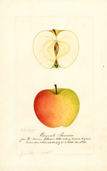 Apples, Claygate Pearmain (1888)