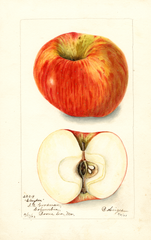 Apples, Clayton (1903)