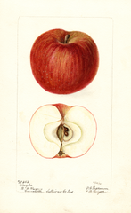 Apples, Clayton (1899)