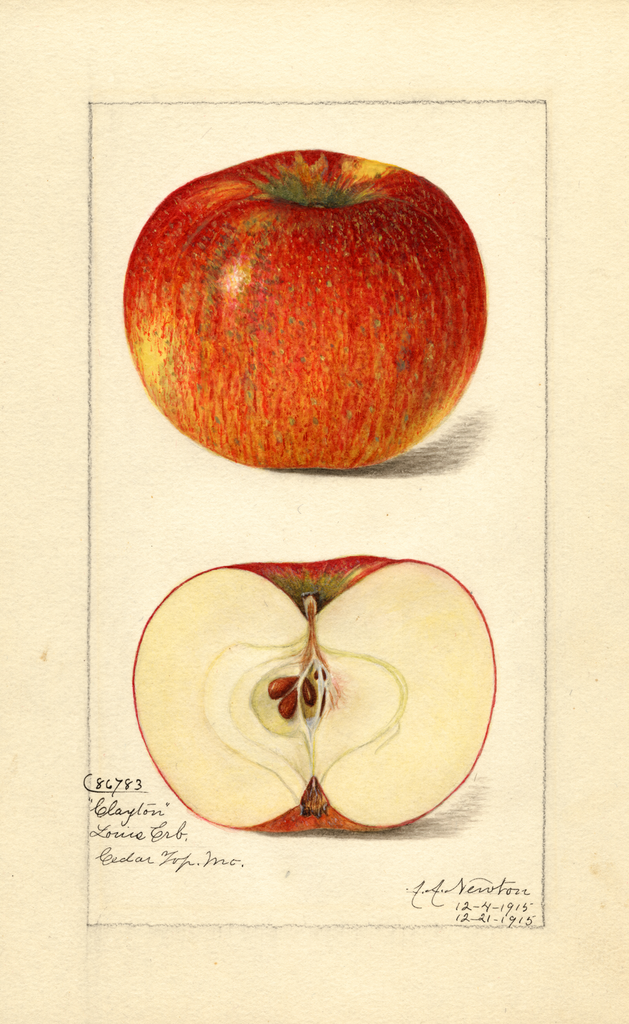 Apples, Clayton (1915)
