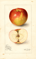 Apples, Clemons (1905)