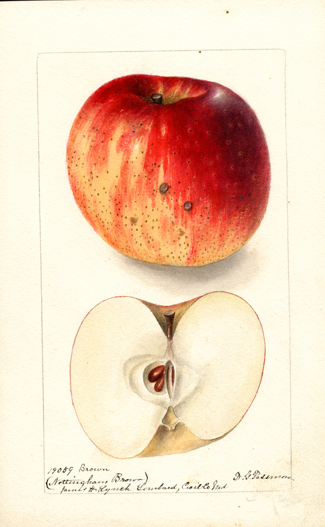 Apples, Nottingham Brown (1900)