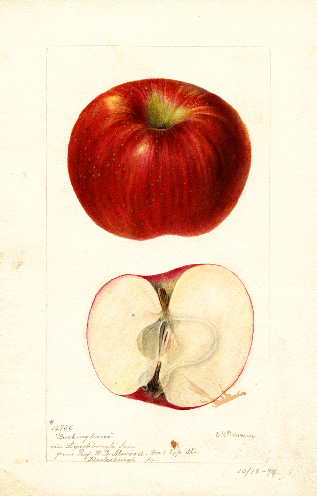 Apples, Buckingham (1895)