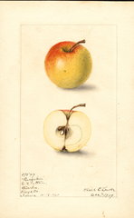 Apples, Buckskin (1907)