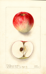 Apples, Calville St. Hillaire (1901)