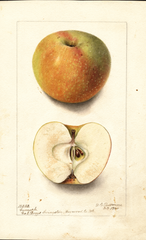 Apples, Camack (1900)