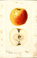Apples, Camack (1895)
