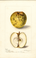 Apples, Campbell (1899)