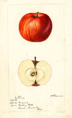 Apples, Catline (1895)