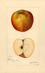 Apples, Catline (1921)