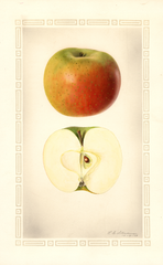 Apples, Catline (1929)