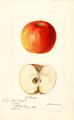 Apples, Catline (1894)