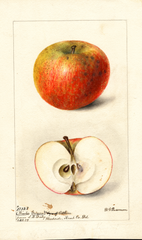 Apples, Winter Gripon (1899)