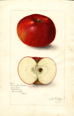 Apples, Cedar Hill Black (1910)