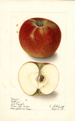 Apples, Cellini (1905)