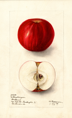 Apples, Chantangua (1906)