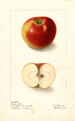 Apples, Cheese Of Pa. (1905)