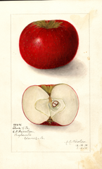 Apples, Cheese Of Pa. (1911)