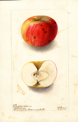 Apples, Cheese Of Pennyslvania (1903)