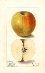 Apples, Cheeseborough (1905)