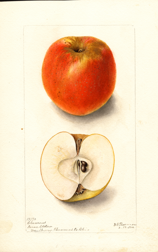 Apples, Clermont (1900)