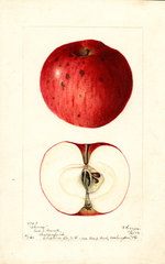 Apples, Climax (1902)