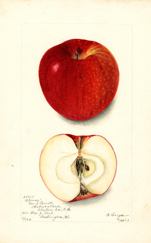 Apples, Climax (1903)
