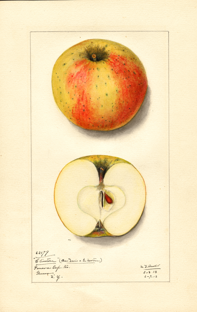 Apples, Clinton (ben Davis X Gr. Newtown) (1913)