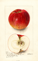 Apples, New Twenty Ounce (1903)
