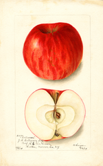 Apples, Collamer (1904)