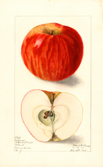 Apples, Collamer (1908)