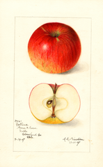 Apples, Collins (1907)