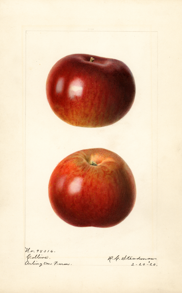 Apples, Collins (1920)