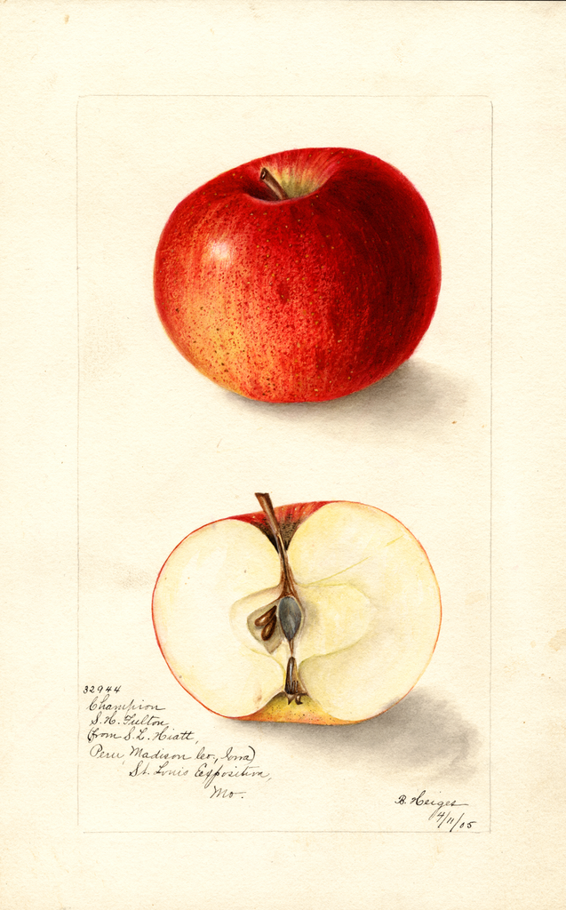 Apples, Champion (1905)