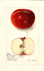 Apples, Collins (1910)