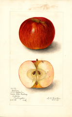 Apples, Collins (1905)