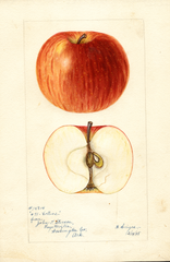 Apples, Collins (1898)