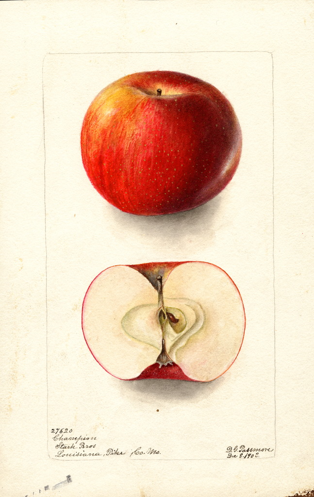 Apples, Champion (1902)