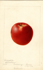 Apples, Collman (1892)