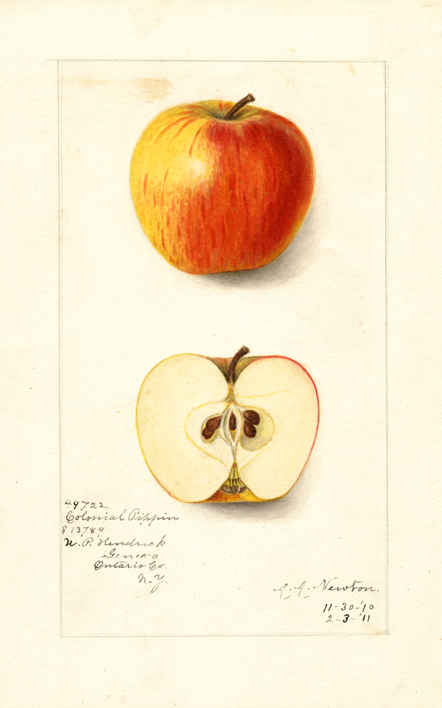 Apples, Colonial Pippin (1911)