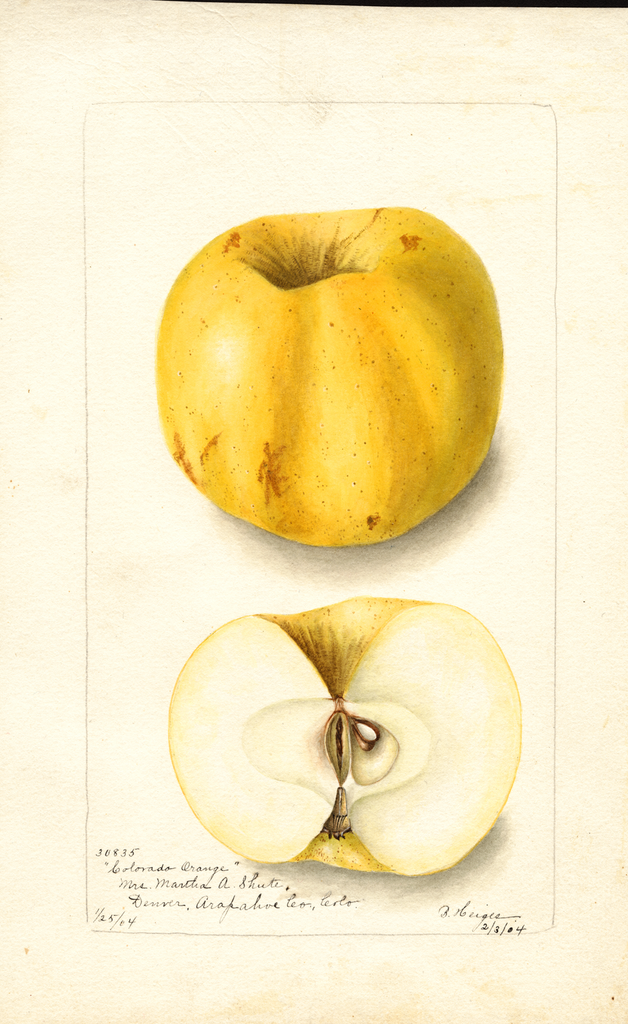 Apples, Colorado Orange (1904)