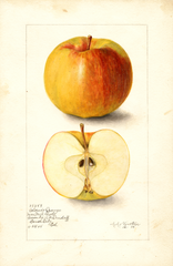 Apples, Colorado Orange (1905)
