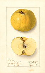 Apples, Colorado Orange (1910)